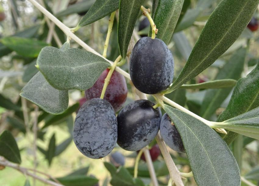 FrantoioManestrini Azienda Territorio Olive